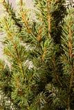 Noël ma version de vecteur d'arbre de portefeuille Branches d'arbre de sapin macro Sapin bleu canadien Images libres de droits