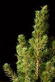 Noël ma version de vecteur d'arbre de portefeuille Branches d'arbre de sapin macro Sapin bleu canadien Photo stock
