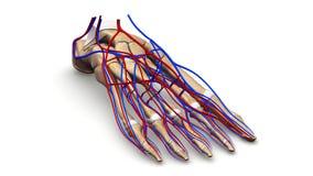 Nożne kości z naczynie krwionośne perspektywicznym widokiem ilustracji