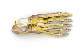 Nożne kości z nerwu odgórnym widokiem royalty ilustracja