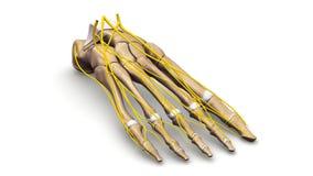 Nożne kości z nerwu perspektywicznym widokiem ilustracji