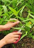 Nożyce ciąca bagno kapusta Fotografia Stock