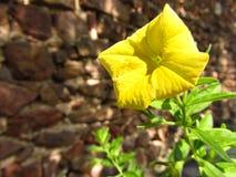 No! no!! Żółty kwiatu buziak światłem Obrazy Stock