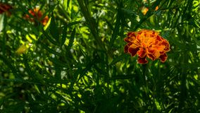 Marigold flower with some green leaves. No annual is more cheerful or easier to grow than marigolds. These flowers are the spendthrifts among annuals, bringing a royalty free stock images