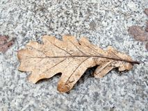 No ano passado folha do carvalho do ` s no passeio do granito imagem de stock