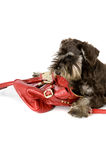 No bag for me!. Puppy getting out of a handbag royalty free stock photos