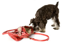 No bag for me!. Cute dog getting out of handbag royalty free stock photos