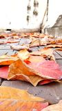 No body clean in autumn. The dried leaves fallen from the tree to the floor, and nobody clean them. Take them show colorful of them royalty free stock images