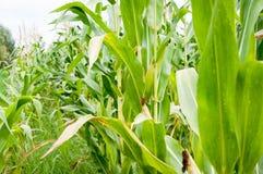 No campo de milho Imagem de Stock