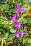 No canteiro de flores do outono o colchicum floresceu Fotografia de Stock Royalty Free