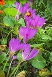 No canteiro de flores do outono o colchicum floresceu Foto de Stock