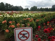 No drones sign in colorful dahlia field royalty free stock photography