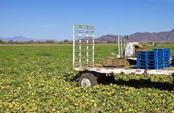 No Farm Workers. A produce farm is empty due to lack of workers Royalty Free Stock Photography