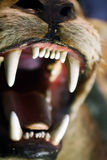 No Fear. Taxiderm leopard with great teeths Royalty Free Stock Photo