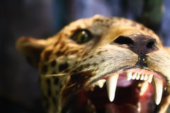 No Fear. Taxiderm leopard with great teeths Stock Photo
