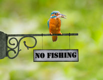 No fishing Kingfisher. Kingfisher bird sitting with a fish on a no fishing sign Royalty Free Stock Photos