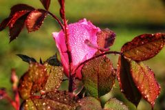 Pink rose with water drop Royalty Free Stock Images