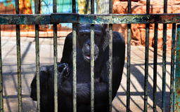 No freedom of monkey in the cage Royalty Free Stock Photo