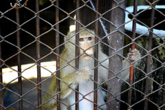 No freedom of monkey in the cage Royalty Free Stock Image