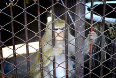 No freedom of monkey in the cage Stock Photo