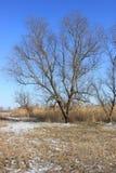 No fundo da árvore grande do céu azul nos juncos no inverno imagens de stock