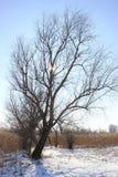 No fundo da árvore grande do céu azul nos juncos no inverno, a grama seca é neve branca fotografia de stock royalty free