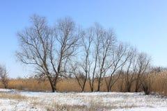 No fundo do céu azul as árvores nos juncos imagens de stock
