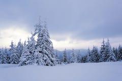 No gramado coberto com a neve que as árvores agradáveis estão estando derramou com flocos de neve Fotografia de Stock