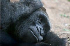 No Hear. Gorilla in Zoo Stock Photography