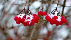 No inverno, durante uma queda de neve, um ramo de um viburnum com bagas vermelhas oscila dos ventanias de vento, o fundo é borrad video estoque