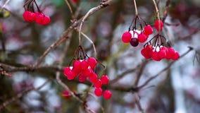 No inverno, durante uma queda de neve, um ramo de um viburnum com bagas vermelhas oscila dos ventanias de vento, o fundo é borrad filme
