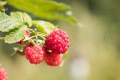 No jardim que cresce framboesas maduras com folha Fotografia de Stock Royalty Free