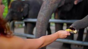 No jardim zoológico aberto, nos povos com os elefantes milho das alimentações de mão, nas bananas e no feijão verde video estoque