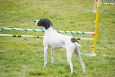 No Jumping. Purebred pointer stands in front of a jump white refusing to go over it on a dog agility course Stock Image