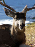 No Laughing Matter. Male mule deer curled up in the cold snowy weather royalty free stock photography