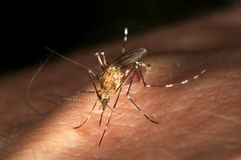 No me moleste Mosquito. Mosquito sucking blood on human skin Royalty Free Stock Images