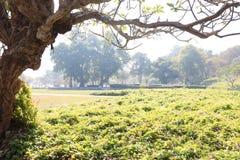 No nascer do sol, as folhas são verde e o Plumeria dos ramos fotografia de stock