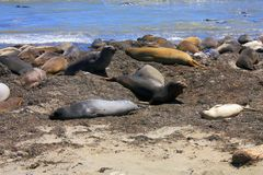 No Nuevo State Park, Elephant Seals, California. Female and juvenile elephant seals are the first to arrive on the beaches of California`s Ano Nuevo State Park Stock Photo