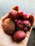 NO OGM Potatos Foto de archivo libre de regalías