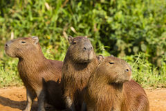 No oiga, hable, vea ningún mal: Trío de Capybaras Imagenes de archivo