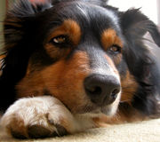 No One To Play With. Australian Shepherd black tri-color with head on paw as if to say I'm bored. Could some please play with me royalty free stock photo