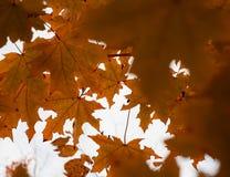 No outono passado folhas em um bordo da árvore fotos de stock royalty free
