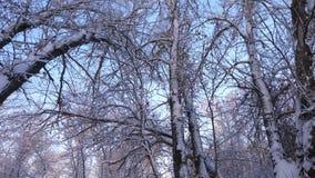 No parque na geada, nas árvores e nos ramos do inverno na neve Floresta bonita do inverno do Natal com neve branca Bonito filme