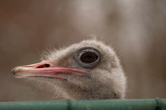No peeping!. Ostrich stretches its long neck to peep over a high fence Royalty Free Stock Photo