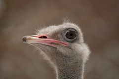 No peeping 2. Curious ostrich looks over a high fence Royalty Free Stock Image
