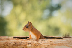 No place like home. Close up of female red squirrel in tree trunk royalty free stock image
