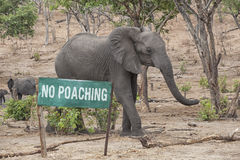 No Poaching. Green Sign with the words No Poaching and an elephant behind, concept against poaching, Botswana, Africa Stock Photos