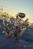 Plantas sob o gelo Foto de Stock