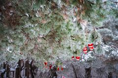 No ramo coberto de neve de árvores de Natal, as decorações do Natal penduram sob a forma das bolas transparentes, corações do fel Fotos de Stock Royalty Free