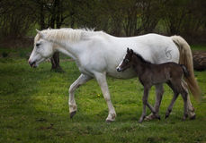 No so rapid mum. Mare and foal accompany each other over the meadow Stock Photography